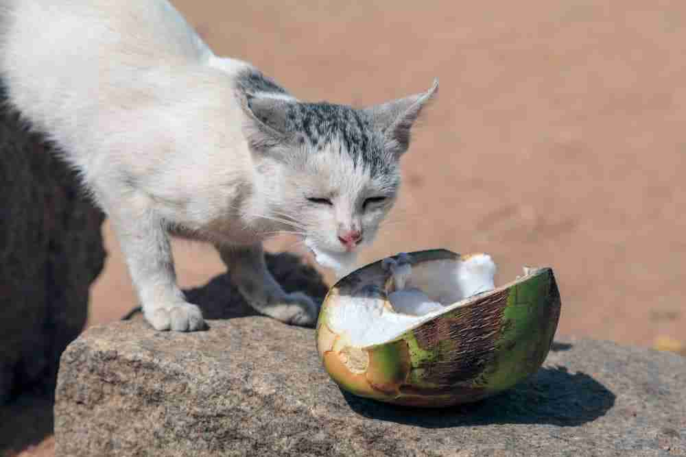 cat eating coconut