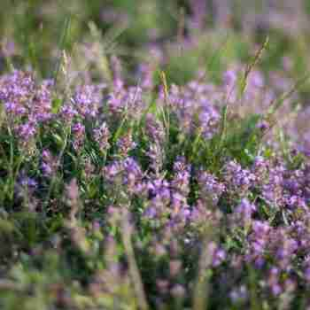 is thyme safe for cats