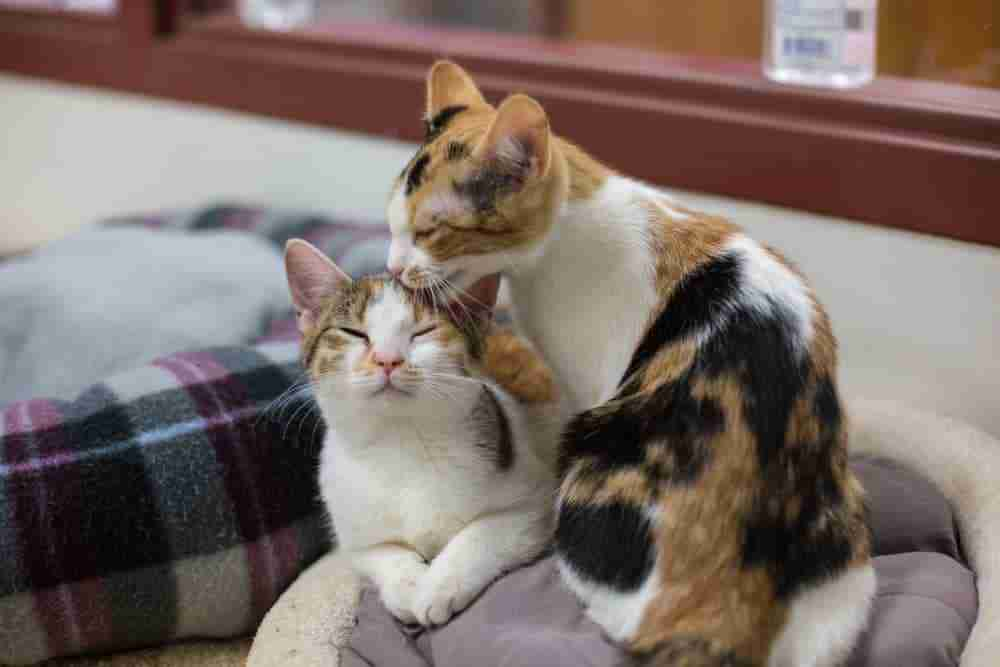 Pair Of Cats Grooming